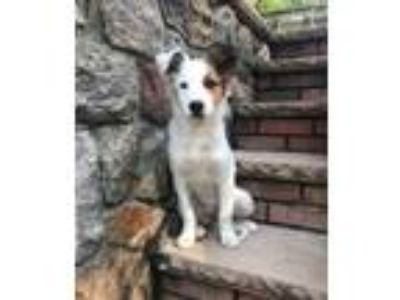 Adopt Mermaid a Australian Shepherd