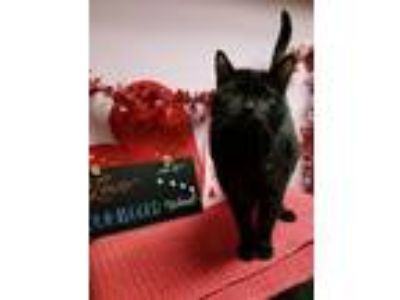 Adopt Mr nibbles a Domestic Short Hair