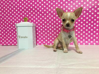 Chihuahua PUPPY FOR SALE ADN-103665 - Little Princess Applehead Chihuahua