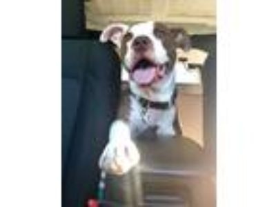 Adopt Bruno a Brown/Chocolate - with White American Pit Bull Terrier / Mixed dog