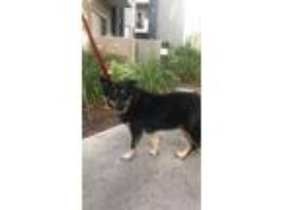 Adopt GG a Black - with Tan, Yellow or Fawn Shepherd (Unknown Type) / Mixed dog