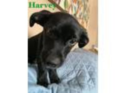 Adopt Harvey a Black - with White Basset Hound / Mixed dog in Clifton Park