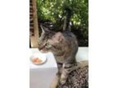 Adopt Belle a Gray or Blue (Mostly) American Shorthair / Mixed cat in Miami