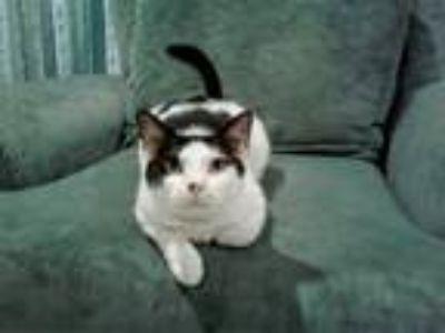 Adopt Lili a American Shorthair