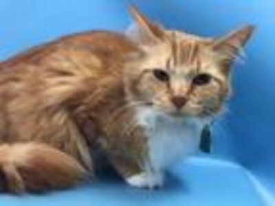 Adopt Lady a Domestic Medium Hair, Domestic Short Hair