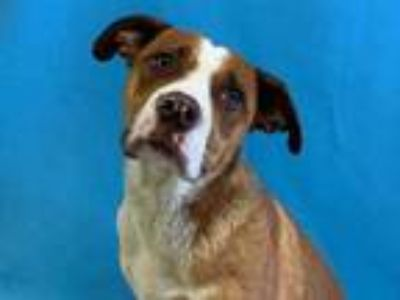 Adopt Olivia a Brown/Chocolate American Pit Bull Terrier / Mixed dog in Golden