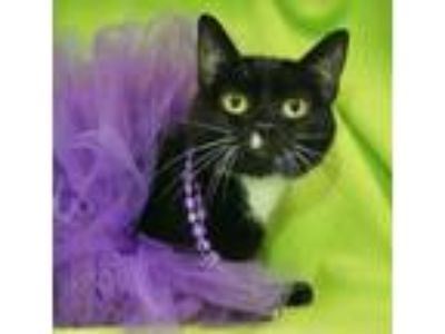 Adopt Bethany a All Black Domestic Shorthair / Domestic Shorthair / Mixed cat in