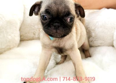 Pug Puppy - Female - Fifi ($500)