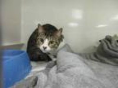 Adopt MORK a Brown Tabby Domestic Shorthair / Mixed (short coat) cat in Sanford