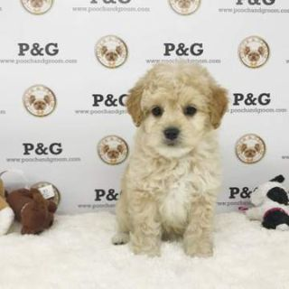 Poodle (Toy)-Maltese Mix PUPPY FOR SALE ADN-78410 - Maltipoo Daniel Male