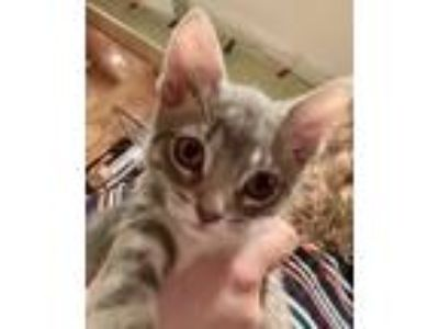 Adopt Bahama a Gray, Blue or Silver Tabby Domestic Shorthair (short coat) cat in