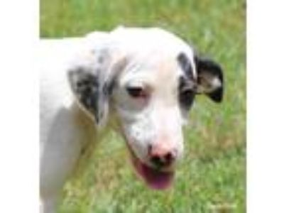 Adopt Belle a White - with Brown or Chocolate English Setter / Boxer / Mixed dog
