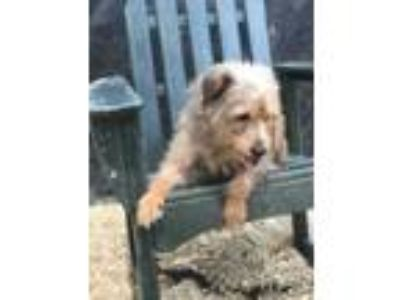 Adopt June B a Brown/Chocolate Terrier (Unknown Type, Small) / Mixed dog in