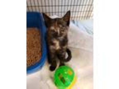 Adopt Frisbee (West State Kitten) a Domestic Shorthair / Mixed (short coat) cat