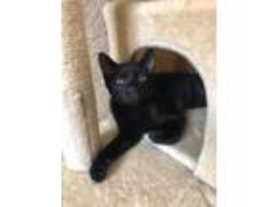 Adopt Tweek a Domestic Medium Hair
