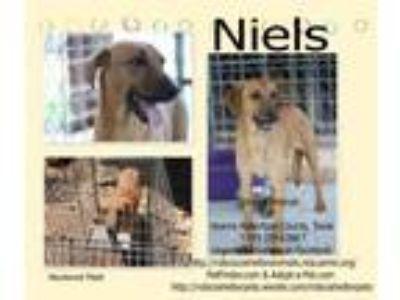 Adopt Niels a Beagle, Border Collie
