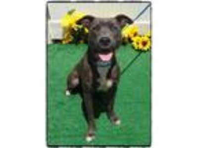 Adopt HOWIE a Pit Bull Terrier