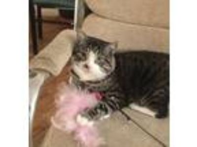 Adopt Gray-eyed Louie a Domestic Short Hair, Tabby