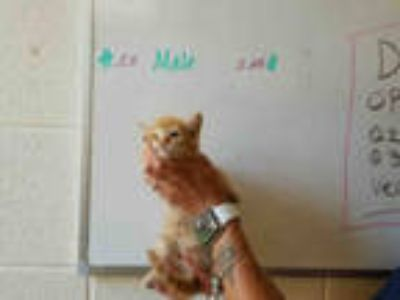 Adopt TAD a Orange or Red Tabby Domestic Shorthair / Mixed (short coat) cat in