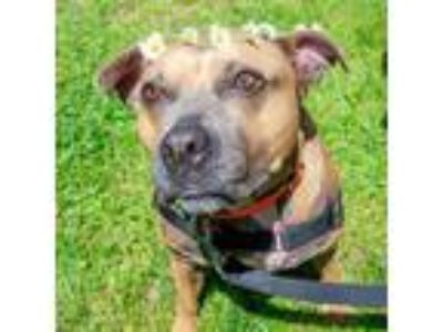 Adopt Boosha a Tan/Yellow/Fawn Mixed Breed (Medium) / American Pit Bull Terrier
