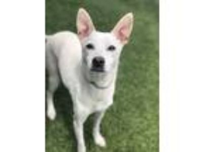 Adopt Scooter a White Rat Terrier / Mixed dog in Edgewater, NJ (25851494)