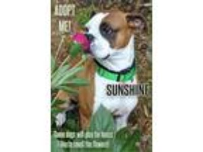 Adopt Sunshine a Boxer / Mixed dog in Charlottesville, VA (25220348)
