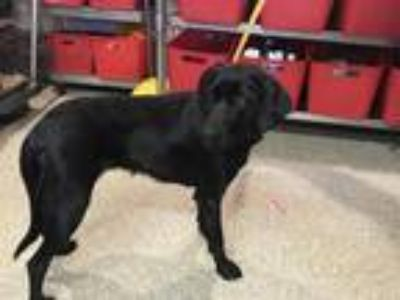 Adopt I1315112 a Black Labrador Retriever / Mixed dog in Pomona, CA (25585186)