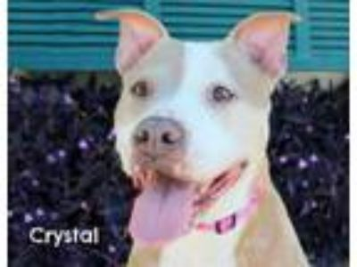 Adopt CRYSTAL a American Staffordshire Terrier, Mixed Breed