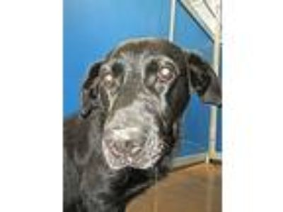 Adopt Cage 31 May 16 l a Black Labrador Retriever, Basset Hound