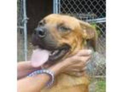 Adopt Max (Fostered in TN) a Labrador Retriever, Shepherd