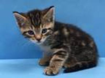 Adopt Tommy a Brown or Chocolate Domestic Shorthair / Mixed cat in Coon Rapids