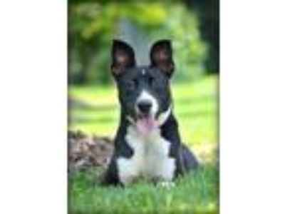 Adopt KASSIE a Black - with White Border Collie / American Pit Bull Terrier /