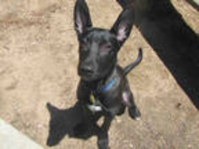 Adopt QUINN a Black - with White German Shepherd Dog / Mixed dog in Plano