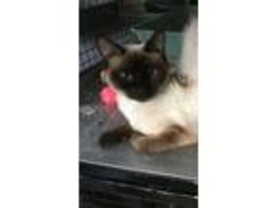 Adopt Sushi a Siamese, Domestic Short Hair