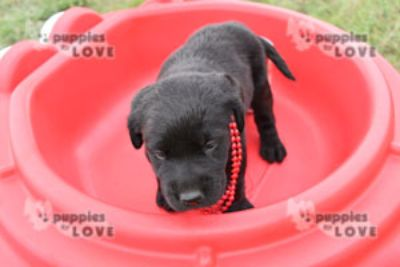 Labrador Retriever PUPPY FOR SALE ADN-87467 - AKC  FULL REGISTRATION