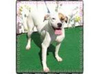 Adopt SHELLY see also SARA & STELLA a White - with Brown or Chocolate Labrador