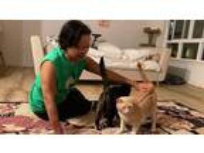 Adopt Skittles & Blondie a American Shorthair, Domestic Short Hair