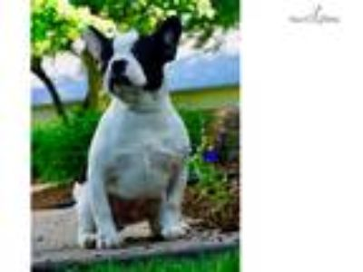 AKC togi Adorable French Bulldog Puppy Ready to go