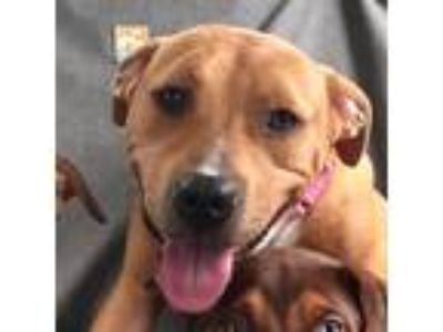 Adopt Arlington a Tan/Yellow/Fawn - with White Pit Bull Terrier / Labrador