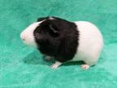 Adopt Domino a Multi Guinea Pig (short coat) small animal in Baton Rouge