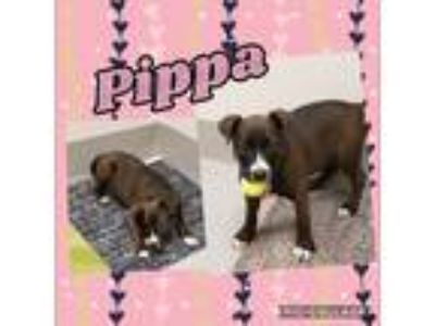 Adopt Pippa a Black - with Brown, Red, Golden, Orange or Chestnut Labrador