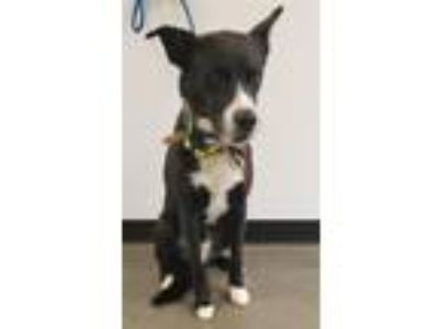 Adopt Hc-9 a Border Collie