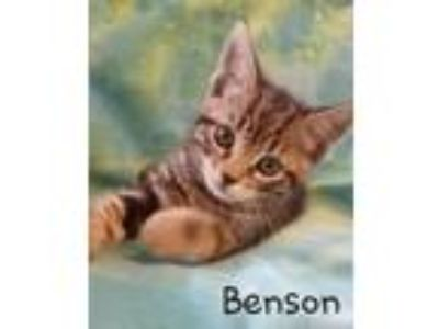 Adopt Benson a Domestic Short Hair