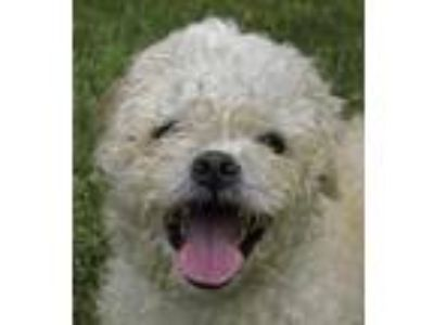 Adopt Mr. Fluff a White Poodle (Toy or Tea Cup) / Shih Tzu / Mixed dog in