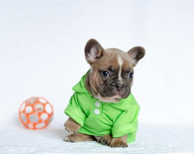 French Bulldog PUPPY FOR SALE ADN-105466 - Sweet boy Loki