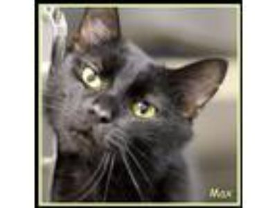 Adopt Max a All Black Domestic Shorthair / Domestic Shorthair / Mixed cat in