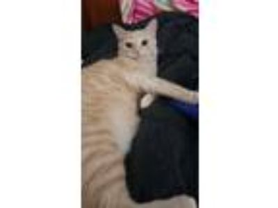 Adopt Marlin a Orange or Red Domestic Shorthair / Mixed (short coat) cat in St