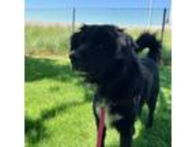 Adopt JUNIOR a Black - with White Flat-Coated Retriever / Mixed dog in Murray