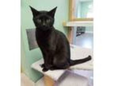 Adopt Rescue a All Black Domestic Shorthair (short coat) cat in Chisholm