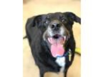 Adopt Mack III 153 a Black Beagle / Mixed dog in Cleveland, OH (25304494)